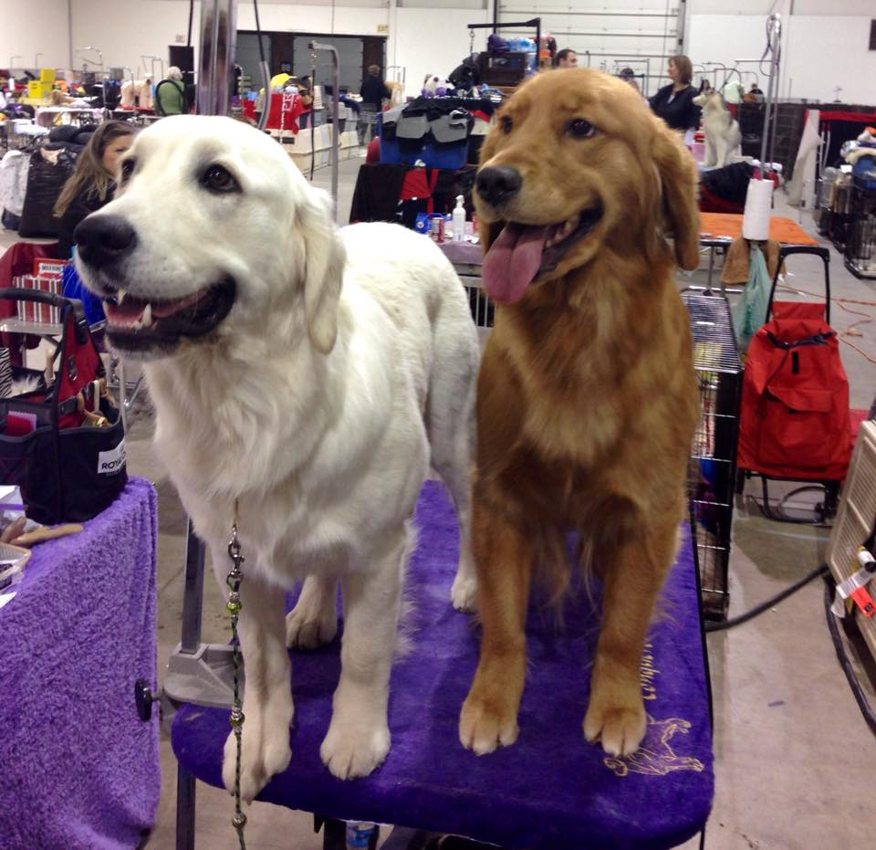 Two Champion Golden Retrievers, showing both ends of the colour spectrum.