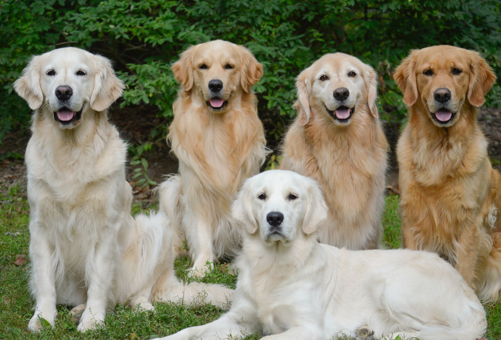 A group of Golden Retrievers all related, showing the various shades.
