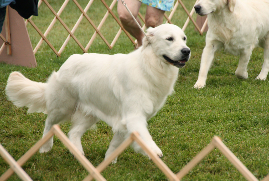 Light Gold can win in dog shows just as much as their darker relatives.