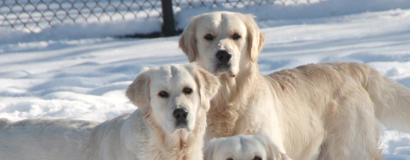 Golden Retriever Club of Canada – Dedicated to Education